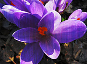 Patricia Januszkiewicz - Crocus Purple and Orange