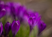 Crocus Flower Prints - Crocus Purple Haze Print by Mike Reid