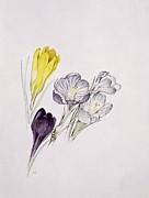 Crocus Flowers Framed Prints - Crocus Framed Print by Sarah Creswell