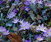 David Klaboe - Crocuses