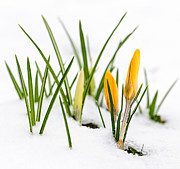 Yellow Crocus Prints - Crocuses in snow Print by Elena Elisseeva