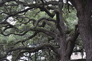 Live Oaks Originals - Crooked Branches by Kay Mathews