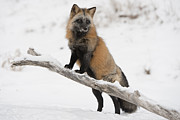 True Cross Photo Prints - Cross Fox Print by Jeannette Katzir