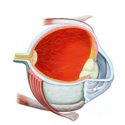 Human Body Parts Posters - Cross Section Of Human Eye Poster by Stocktrek Images
