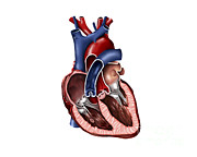 Left Ventricle Prints - Cross Section Of Human Heart Print by Stocktrek Images