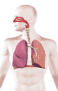 Human Body Parts Posters - Cross Section Of Human Respiratory Poster by Leonello Calvetti