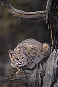 Bobcat Photos - Crouching Bobcat Montana Wildlife by Dave Welling