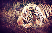 Oriental Tiger Prints - Crouching Tiger Print by Kyle Walker