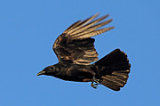 Crows Greeting Cards Prints - Crow in Flight Print by Meg Rousher