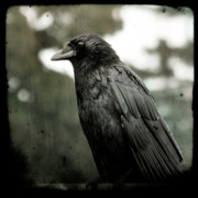 Passerines Posters - Crow In the Summer Rain Poster by Gothicolors And Crows