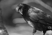 Noir Digital Art - Crow Noir by Bill Oliver