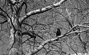 Willam Carrion - Crow