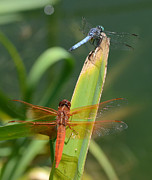 Dragonflies Photos - Crowded Runway by Fraida Gutovich