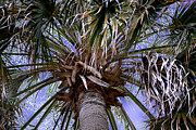 Sabal Framed Prints - Crown of the Sabal Palm Framed Print by Roy Erickson
