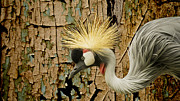 Wildlife Pics Prints - Crowned Crane Consistency Print by Bill Tiepelman