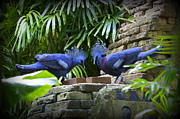 Laurie Perry - Crowned Pigeons
