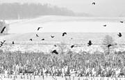 Dan Friend - Crows in cornfield winter