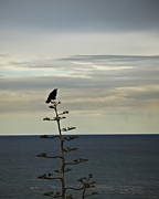 Crow Image Photos - Crows View by Joseph Hollingsworth