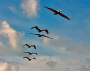 Florida Gifts Framed Prints - Cruising Pelicans. Melbourne Shores. Framed Print by Chris  Kusik