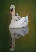 Swans... Posters - Cruising With Mom Poster by Susan Candelario