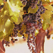 Wine Grapes Drawings Posters - Crush Time Poster by Author and Photographer Laura Wrede