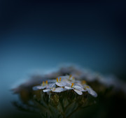 """blue Flowers"" Photos - Crushed by the Weight of Blue by Shane Holsclaw"