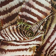 Op Art Paintings - Cryptanthus by Urszula Dudek
