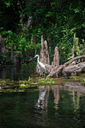 Crystal River Egret Print by Skip Willits
