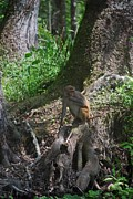Fla Photos - Crystal River Monkey by Skip Willits