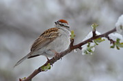 Chipping Sparrow Prints - Cs1 Print by Rae Ann Garrett