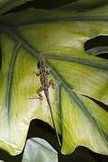 Lizards Posters - Cuban Brown Anole on Green Leaf Poster by Anne Rodkin