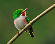 Tiny Bird Photos - Cuban Tody by Tony Beck
