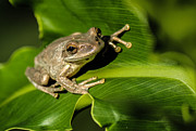 Cuban Tree Frog Posters - Cuban Tree Frog Poster by Frank Selvage