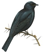 Black Background Drawings - Cuckoo shrike by Anonymous