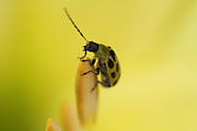 Cucumber Beetle Framed Prints - Cucumber Beetle Framed Print by David Yunker
