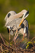 Wet Fly Prints - Cuddling Great Blue Herons Print by Andres Leon