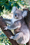 Koala Photo Prints - Cuddly Koala Print by Melody and Michael Watson