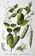 Wild-flower Drawings Posters - Culinary Pea Pisum Sativum Poster by Anonymous