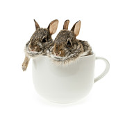 Hares Prints - Cup of bunnies Print by Elena Elisseeva
