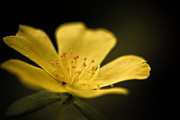 Flower Photos - Cup Of Light by Shane Holsclaw