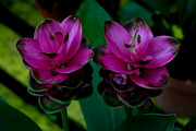 Donald Chen - Curcuma Angustifolia...