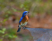 Mkz Prints - Curious Bluebird Print by Mary Zeman