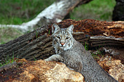 Bobcats Framed Prints - Curious Bobcat  Framed Print by Jean Clark