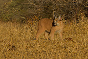 Emotive Posters - Curious Caracal Cub Poster by Ashley Vincent
