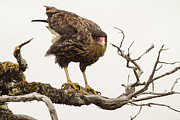 Falcon Metal Prints - Curious Caracara Metal Print by Tim Grams