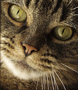 Cat Face Posters - Curious Cat Poster by Diane Diederich