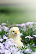 Creeping Phlox Framed Prints - Curious Chick Framed Print by Stephanie Frey