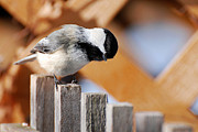 Black-capped Prints - Curious Chickadee Print by Christina Rollo
