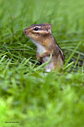 Eastern Chipmunk Photos - Curious Chipmunk by Gerald Marella