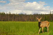 Larry Moloney Prints - Curious Deer in Glacier National Park Print by Larry Moloney